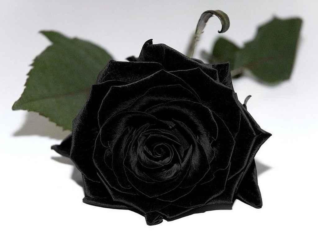 чёрная роза цветок фото